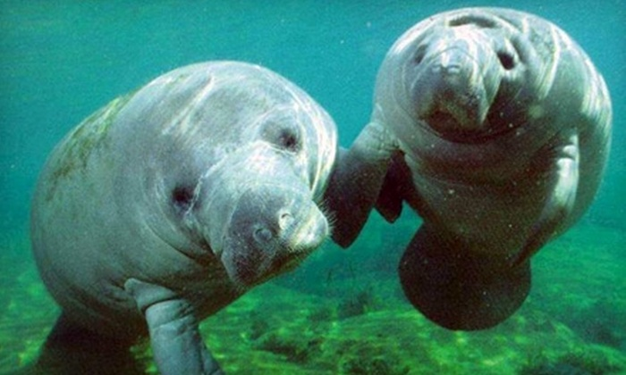 Snorkel with Manatees - Crystal River: $25 for a Manatee Encounter ($49 Value) or $14 for a Dolphin Encounter ($29 Value) at Snorkel with Manatees