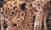 Giraffe Ranch Farm Tours - Dade City: Game-Viewing Safari Tour or Camel-Riding Expedition at Giraffe Ranch Farm Tours. Three Options Available.
