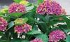 Hydrangea Glam Rock – 2 or 4 Plants