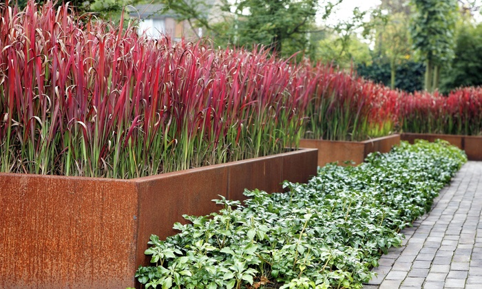 3 imperata red baron grass plants groupon. Black Bedroom Furniture Sets. Home Design Ideas