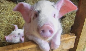 The Butts Farm Rare Breeds: The Butts Farm Rare Breeds Farm Entry for Two or Four Weekdays (33% Off)