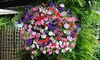 20 or 40 Petunia Easy Wave Ultimate Mixed Garden Ready Plants