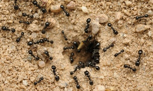 PDX Pest Control: $79 for a One-Time Preventative Indoor and Outdoor Ant Treatment from PDX Pest Control ($185 Value)