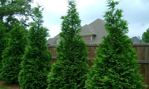 Pre-Order: Arborvitae Green Giant Biodegradable Plants (5- or 10-Pack)