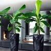 Dwarf Musa Banana Plant