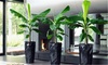 Groupon Goods Global GmbH: One, Two, or Three Dwarf Musa Banana Plants with Optional Flared Planters