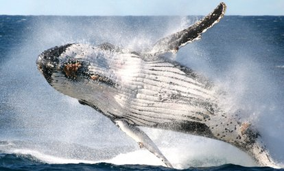 Whale Watching + Refreshments: 1 Person, Weekday ($35) or 2 Ppl, Weekend ($72) with Go Whale Watching (Up to $144 Value)