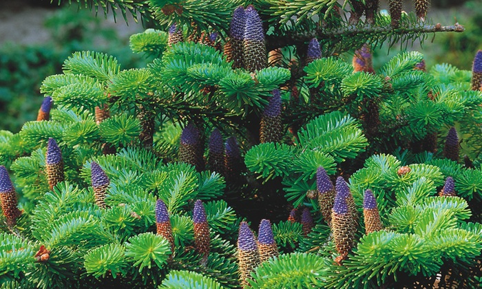 Up To 37 Off Korean Fir Single Stem Tree Groupon
