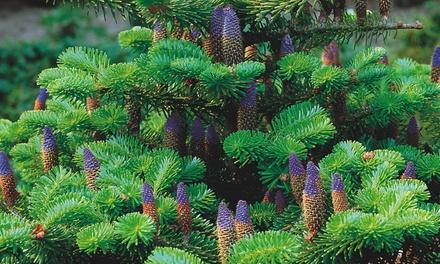 Hardy Korean Fir Tree - 1 or 2 plants