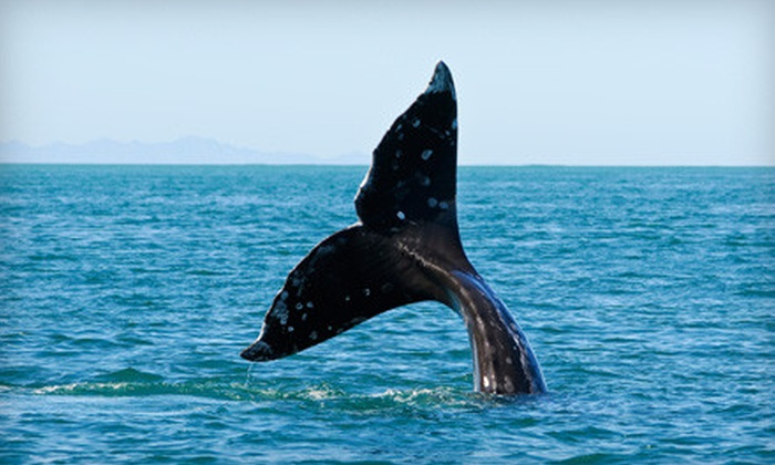Gray Whale Watching Tours - Whidbey Island: $34 for a Gray-Whale-Watching Tour from Deception Pass Tours in Oak Harbor, Whidbey Island (Up to $69 Value). Two Options Available.