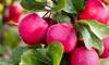 Apfelbaum Malus Appletini