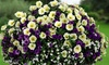Hanging Basket Plants - Colour Themed - up to 12 plants