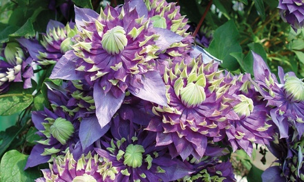 Clematis New Love Plants with Optional Planters