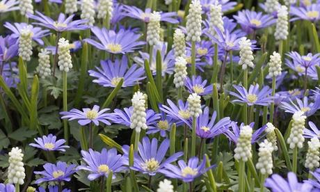 Muscari and Anemone Magic Carpet Flower Bulbs (50-Pack) a23a13b1-51db-400e-b749-56799eb53702