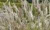 Miscanthus 'Kleine Silberspinne' Grass