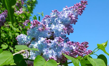 Lilac Shrub Bare Root Plants; Multiple Varieties Available