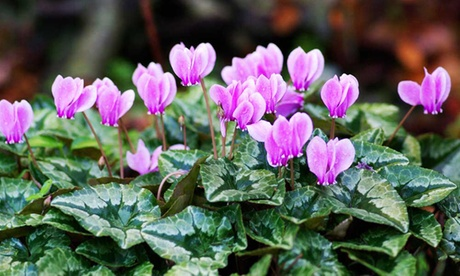 Three White or Pink or Six Mixed Colour Cyclamen Hederifolium Plants