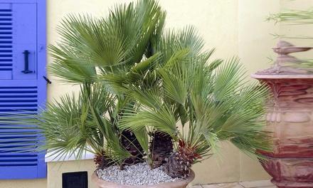 1 of 2 winterharde palmbomen van 100120 cm groot vanaf € 29,99 tot korting
