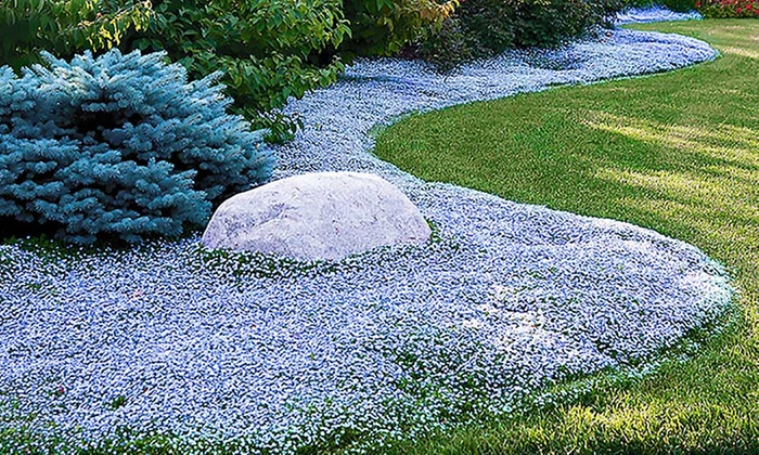 isotoma blue foot plants groupon. Black Bedroom Furniture Sets. Home Design Ideas