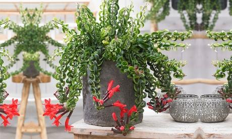 1 o 2 plantas Aeschynanthus Twister para colgar en interior