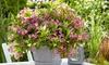 Weigela Picobella Rosa Plant 9cm Pot