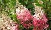 2 piante di Hydrangea Pinky Winky