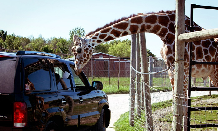African Safari Wildlife Park - Port Clinton: African Safari Wildlife Park Visit for One or Four (Up to 73% Off). Three Options Available.