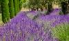 18 Lavender Plants