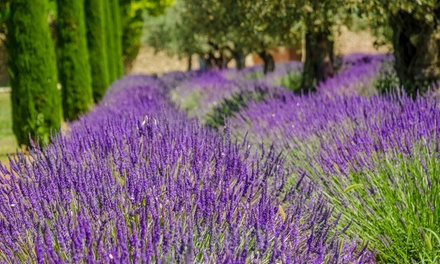 Lavender Hidcote and Munstead Plants Collection