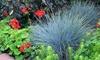 Blauschwingel (Festuca Glauca)
