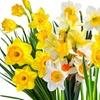 Pre-Order: Daffodil Bulbs (15- or 25-Pack)