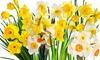 Pre-Order: Daffodil Bulbs (15- or 25-Pack): Pre-Order: Dutch Master, Pink Charm, or Mixed Daffodil Bulbs (15- or 25-Pack)