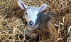 Online Lambing Experience