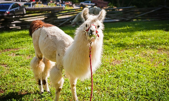 Smoky Mountain Llama Treks - Cosby: Llama Trail Trek and Farm Visit for 2, or Farm Visit for 2 or 4 from Smoky Mountain Llama Treks (Up to 67% Off)