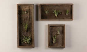 Air Plant Reclaimed Wall Decor. Multiple Styles Available.
