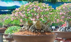 Plante Rose du désert Adenium