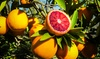 Pianta di Citrus Tarocco