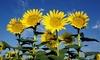Giant Sun Flower Seed Mat (1-, 2-, or 3-Pack): Giant Sun Flower Seed Mat (1-, 2-, or 3-Pack)