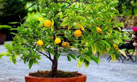 Set di 3 o 6 Piante di agrumi disponibili in 3 frutti