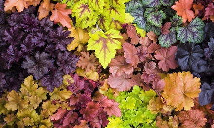 Sets van Heuchera planten