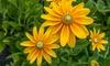 "Prairie Sun Rudbeckia 3"" Potted Plants (2-Pack): Prairie Sun Rudbeckia 3"" Potted Plants (2-Pack)"