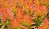 """The Flame"" Crassula Jade Campfire 4"" Potted Plant"