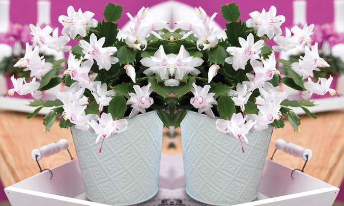 White Christmas Cactus Groupon