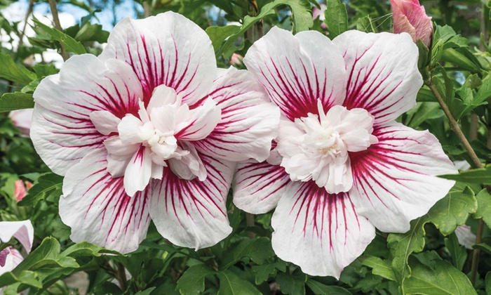 Up To 48 Off One Or Two Hibiscus Plants Groupon