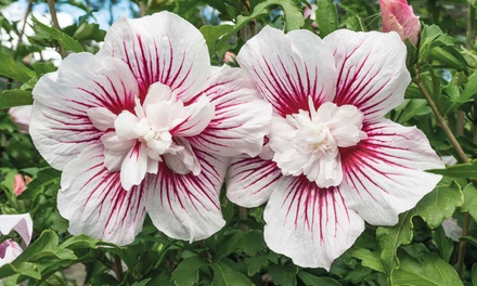 One or Two Starburst Chiffon or Big Hibiskiss Hibiscus Plants