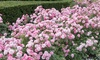 3 or 6 Groundcover Roses