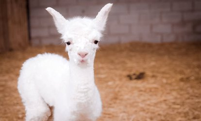 image for One-Hour Baby Alpaca Experience and Feed for One or Two at Charnwood Forest (Up to 50% Off)
