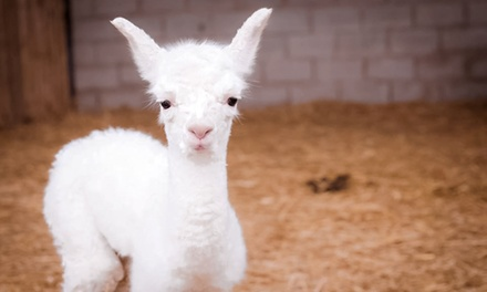 One-Hour Baby Alpaca Experience and Feed for One or Two at Charnwood Forest (Up to 50% Off)