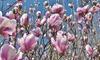 Set de 3 o 6 plantas Mangolia para exteriores