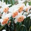 Pink Daffodil Flower Bulbs (12, 18, or 30-Pack)